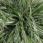 Carex Oshimensis Everest Sedge