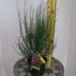 Cytisus Hollandia Broom 3.5Ltr