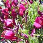 Cytisus Boskoop Ruby Broom 3.5Ltr