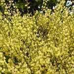 Cytisus Praecox Broom 3.5Ltr