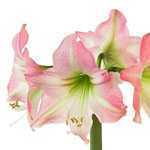 Amaryllis Royal Bulbs (Pink) Giftboxes 1 Per Pack