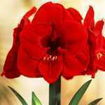 Amaryllis Royal Bulbs (Red Lion) Giftboxes 1 Per Pack