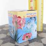Amaryllis Royal Bulbs (Apple Blossom) Giftboxes 1 Per Pack