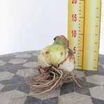 Amaryllis Royal Bulbs (Apple Blossom) Giftboxes 1 Per Pack