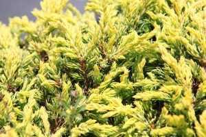 Thuja Occidentalis Golden Globe (Conifer)