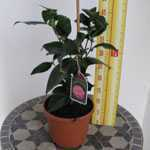 Camellia Japonica Kick Off (Pink) 14cm Pot