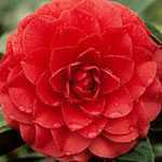 Camellia Rosa Betanzas(Dark Pink)