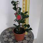 Camellia Rosa 'Betanzas'