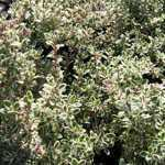 Thymus Vulgaris Silver Posie Thyme