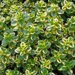 Thymus x Citriodorus Golden Queen Thyme 9cm Pot