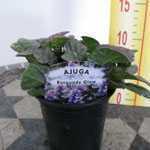 Ajuga Reptans Burgundy Glow Bugleweed Carpet Bugle  9cm Pot