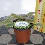 Ajuga Reptans Golden Beauty Bugleweed 9cm Pot