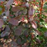 Berberis Thunbergii Rosy Rocket (Barberry Hedging) 10ltr