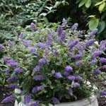 Buddleia Blue Chip  (Buddleja) Butterfly Bush 3.5Ltr