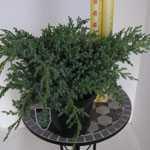 Juniperus (Juniper) Squamata Blue Star 25-30cm 7.5Ltr