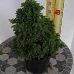 Cryptomeria Japonica Yokohama (Japanese Cedar)  3ltr