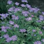 Geranium Hardy Johnsons Blue (Baby Blue) 2-3Ltr