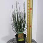 Cytisus Andreanus Lena (Broom) 3.5Ltr