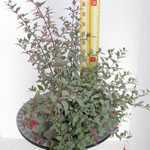 Fuchsia (Hardy) Magellanica Tricolor 3Ltr