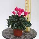 Cyclamen Deep Pink 1 Litre Pot