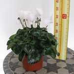 Cyclamen White 1 Litre Pot