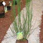Cytisus Andreanus Luna (Broom)