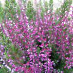 Calluna Vulgaris (Heather) Dark Pink 9cm Pot