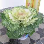 Ornamental Cabbage Plant (Brassica Oleracea) Cream/Green