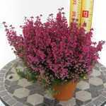 Erica Gracilis Dark Pink Approx. 1Ltr Pot