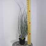 Cytisus 'Moyclare Pink' (Broom)