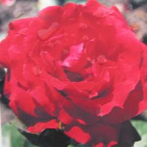 Uncle Walter Hybrid Tea Rose