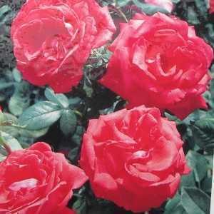 Super Star Hybrid Tea Rose