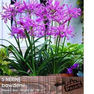 Nerine Bowdenii Bulbs 5 per Pack