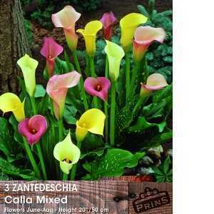 Zantedeschia Calla mixed (Arum Lily) Bulbs 3 Per Pack