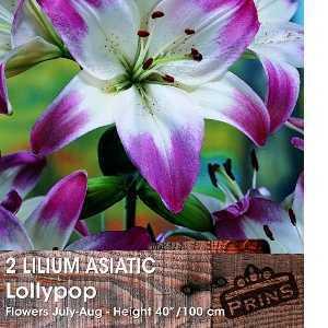 Lilium Asiatic 'Lollypop' (Lily 'Lollypop') Bulbs 2 Per Pack