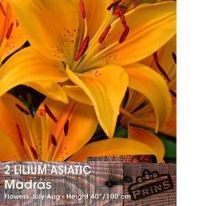 Lilium Asiatic 'Madras' (Lily 'Madras') Bulbs 2 Per Pack