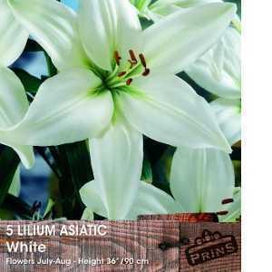 Lilium 'Asiatic White' (Lily 'Asiatic White') Bulbs 5 Per Pack