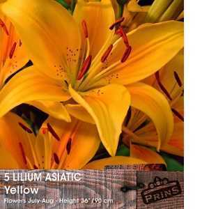 Lilium 'Asiatic Yellow' (Lily 'Asiatic Yellow') Bulbs 5 Per Pack