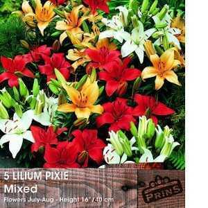 Lilium Pixie Mixed (Lily Pixie Mix) Bulbs 5 Per Pack