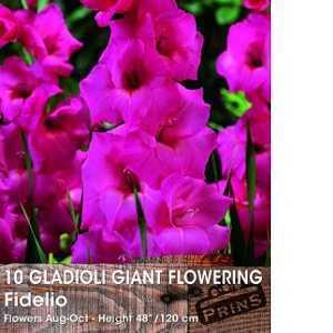 Gladioli Giant Flowering