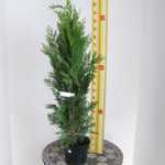 Chamaecyparis Lawsoniana Green Pillar (Lawson Cypress) 80-100cm 3Ltr