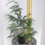 Chamaecyparis Lawsoniana Cream Crackers (Lawsons Cypress) Conifer 80-100cm 3Ltr
