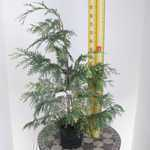 Chamaecyparis Lawsoniana 'Cream Crackers' (Lawsons Cypress) Conifer