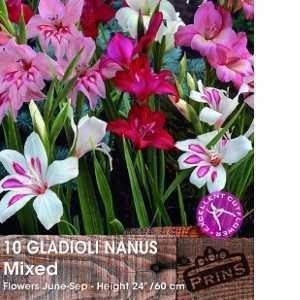 Gladioli 'Nanus Mixed' Bulbs 10 Per Pack