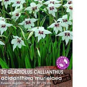 Gladiolus (Gladioli) Callianthus Acidanthera Murielaea 20 Per Pack