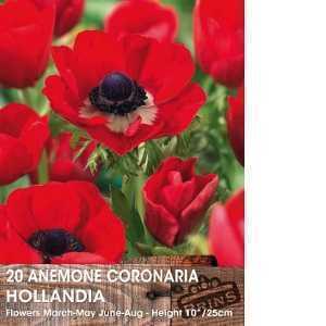 Anemone Bulbs Coronaria Hollandia 15 Per Pack