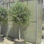 Olea Europaea  (Olive Tree) 120cm Stem 50Ltr Pot