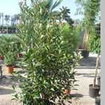 Photinia x Fraseri Red Robin Hedging 125-150cm 30ltr