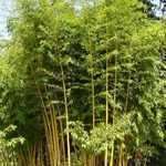 Bambusa Phyllostachys Vivax Aureocaulis (Bamboo) 500cm - 600cm 110Ltr