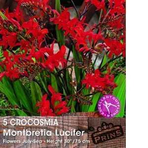 Crocosmia Montbretia Lucifer Bulbs 5 Per Pack